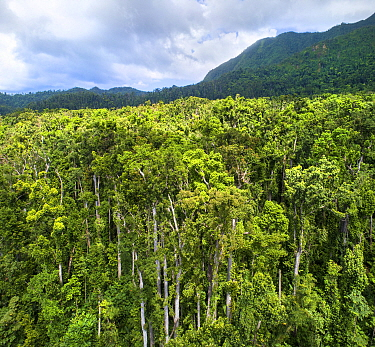 Tropical rainforest canopy. Syndicate Forest, Morne Diablotin National Park, Dominica, Lesser Antilles. 2019.