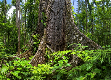 Buttress roots in rainforest. Syndicate Forest, Morne Diablotin National Park, Dominica, Lesser Antilles. 2019.