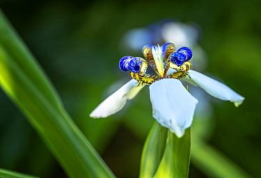 Walking iris (Neomarica gracilis). Dominica, Lesser Antilles.