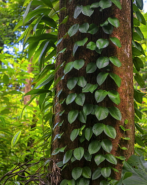 Vines and epiphytes on tree trunk in Syndicate Forest, Morne Diablotin National Park, Dominica, Lesser Antilles.