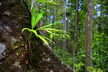 Epiphyte on buttress root in rainforest. Syndicate Forest, Morne Diablotin National Park, Dominica, Lesser Antilles.