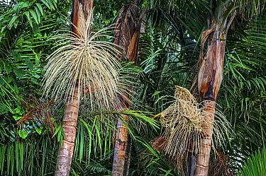 Palm trees in Syndicate Forest, Morne Diablotin National Park, Dominica, Lesser Antilles.