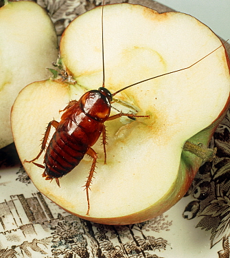 American cockroach (Periplanata americana) nymph, household pest feeding on Apple.