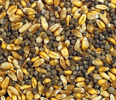 Cleavers (Galium aparine) seeds contaminating combine harvested Wheat (Triticum aestivum) grain, grain rejected in quality control.