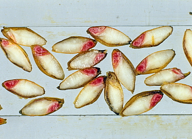 Barley (Hordeum vulgare) grain, cross sections of seeds treated with tetrazolium salt which stains viable living tissue red, a test for germination.