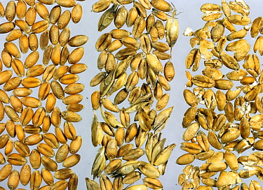 Wheat (Triticum aestivum) grains, a comparison of a good quality harvest with poorer harvest, grain with chaff and husk contamination, and crushed and broken grains.