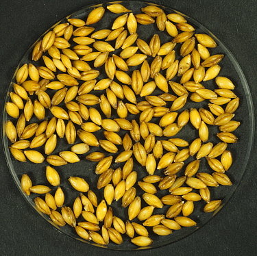 Barley (Hordeum vulgare) grain during malting process, seeds steeping and beginning to germinate. Sequence 2/7.