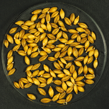 Barley (Hordeum vulgare) grain during malting process, seeds steeping, beginning to chit and germinate. Sequence 3/7.
