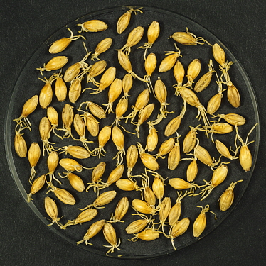 Barley (Hordeum vulgare) grain during malting process, seeds drying after germination. Sequence 5/7.