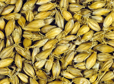 Barley (Hordeum vulgare) grain during malting process, dry seeds after chitting and kilning. Sequence 6/7.