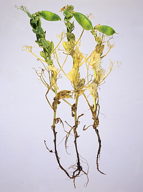 Pea (Pisum sativum) infected with Footrot (Didymella pinodella), affecting roots and stem.