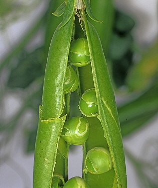 Peas (Pisum sativum) damaged by Pea seed-borne mosaic virus (PSbMV), in pod.