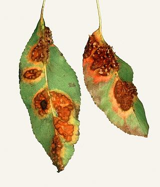Pear rust (Gymnosporangium fuscum) pustules and damage on underside of Pear (Pyrus communis) leaves. Berkshire, England, UK. September.