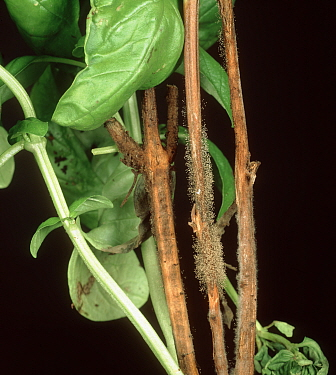 Grey mould (Botrytis cinerea) fungal infection on stem of Sweet basil (Ocimum basilicum).