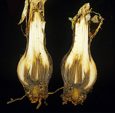 Nerine (Nerine bowdenii) bulb in cross section with necrosis caused by Basal rot (Fusarium oxysporum).