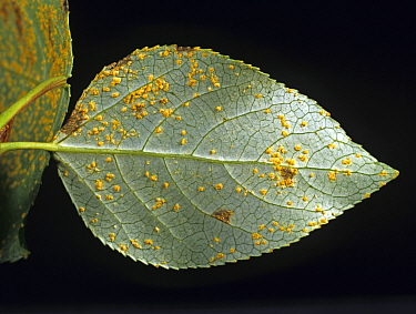 Poplar rust (Melampsora sp) disease pustules on underside of White poplar (Populus alba) leaf.