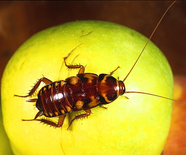 Australian cockroach (Periplaneta australsiae) nymph on Apple, a household pest.