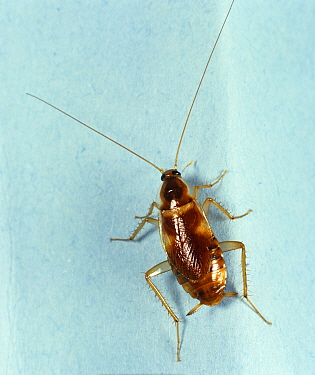 Banded cockroach (Supella longipalpa), a household pest.