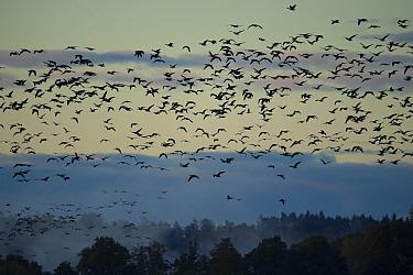 Barnacle goose (Branta leucopsis) flock in flight over trees. Hjalstaviken nature reserve, Uppland, Sweden. October.