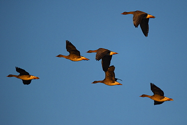 Bean goose (Anser fabalis), six in flight. Hjalstaviken nature reserve, Uppland, Sweden. October.