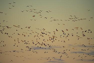 Barnacle goose (Branta leucopsis) flock in flight. Hjalstaviken nature reserve, Uppland, Sweden. October.