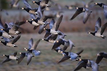 Barnacle goose (Branta leucopsis) flock in flight, taking off. Hjalstaviken nature reserve, Uppland, Sweden. October.