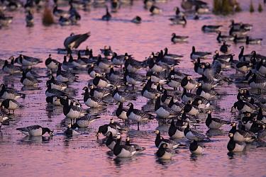 Barnacle goose (Branta leucopsis) flock standing in lake. Hjalstaviken nature reserve, Uppland, Sweden. October.