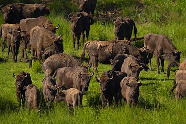 European bison (Bison bonasus) herd in grassland. Eriksberg Wildlife and Nature Park, Blekinge, Sweden. June. Captive.