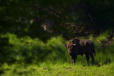 European bison (Bison bonasus) in grassland. Eriksberg Wildlife and Nature Park, Blekinge, Sweden. June. Captive.