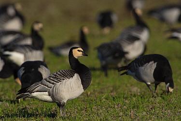 Barnacle goose (Branta leucopsis) amongst flock in grassland. Hjalstaviken nature reserve, Uppland, Sweden. October.