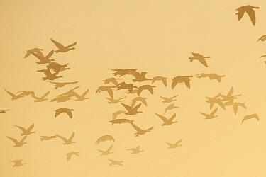 Barnacle goose (Branta leucopsis) flock in flight at dawn. Hjalstaviken nature reserve, Uppland, Sweden. October.