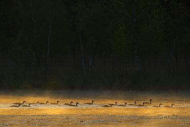 Greylag goose (Anser anser) flock on misty morning. Eriksberg, Blekinge, Sweden. May.
