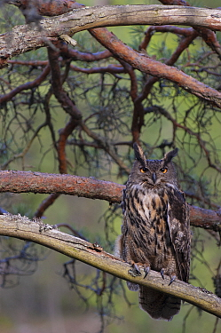 European eagle owl (Bubo bubo) perched in tree. Vastmanland, Sweden. May. Captive.