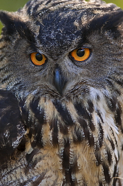 European eagle owl (Bubo bubo) portrait. Vastmanland, Sweden. May. Captive.