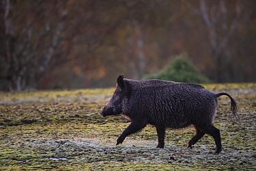 Wild boar (Sus scrofa) running through mud. Eriksberg Wildlife and Nature Park, Blekinge, Sweden. October. Captive.