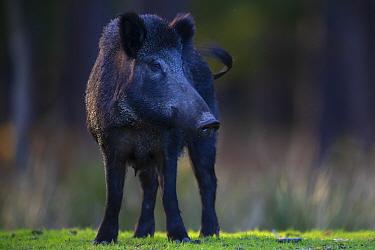Wild boar (Sus scrofa) sow. Eriksberg Wildlife and Nature Park, Blekinge, Sweden. October. Captive.