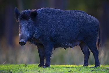 Wild boar (Sus scrofa) sow, portrait. Eriksberg Wildlife and Nature Park, Blekinge, Sweden. October. Captive.