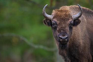 European bison (Bison bonasus). Eriksberg Wildlife and Nature Park, Blekinge, Sweden. October. Captive.