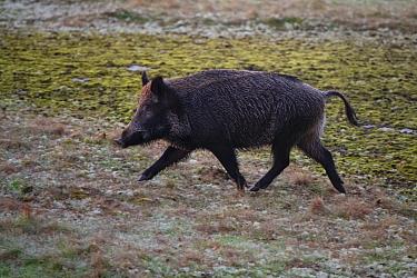 Wild boar (Sus scrofa). Eriksberg Wildlife and Nature Park, Blekinge, Sweden. October. Captive.