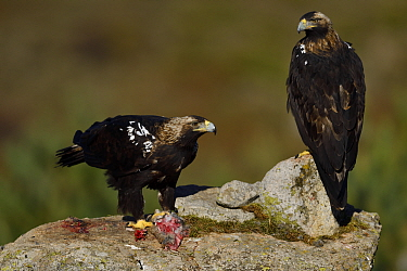 Spanish imperial eagle (Aquila adalberti), two on rock, one eating rabbit carcass put out at wildlife watching hide. Near El Barraco, Avila, Castile and Leon, Spain. December.