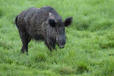 Wild boar (Sus scrofa) male in grassland. Eriksberg Wildlife and Nature Park, Blekinge, Sweden. May. Captive.