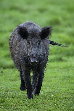 Wild boar (Sus scrofa) male. Eriksberg Wildlife and Nature Park, Blekinge, Sweden. May. Captive.