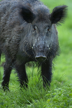 Wild boar (Sus scrofa) male, portrait. Eriksberg Wildlife and Nature Park, Blekinge, Sweden. May. Captive.