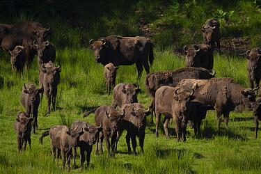European bison (Bison bonasus) herd. Eriksberg Wildlife and Nature Park, Blekinge, Sweden. June. Captive.