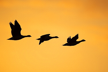 RF - Barnacle goose (Branta leucopsis), three in flight, silhouetted against orange sky. Hjalstaviken Nature Reserve, Uppland, Sweden. September. (This image may be licensed either as rights managed o...