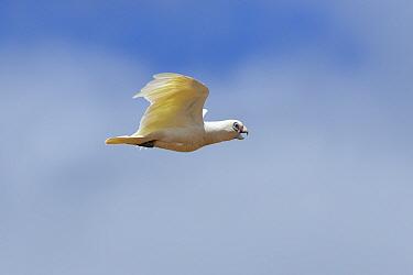 Little corella (Cacatua sanguinea) in flight with open beak. Kangaroo Island, South Australia.
