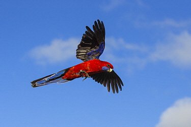Crimson rosella (Platycercus elegans) in flight. Lamington National Park, Queensland, Australia.