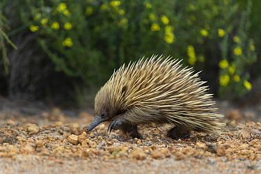 Short-beaked echidna (Tachyglossus aculeatus). Kangaroo Island, South Australia.