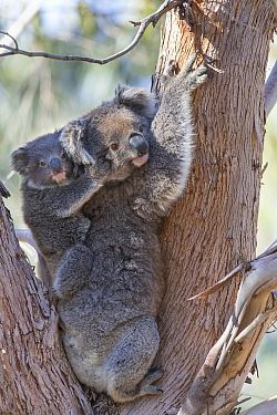 Koala (Phascolarctos cinereus) female and joey aged eleven months in tree fork. Kangaroo Island, South Australia.