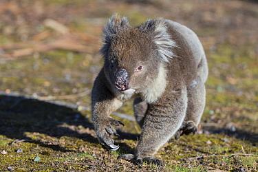 Koala (Phascolarctos cinereus) male walking. Kangaroo Island, South Australia.